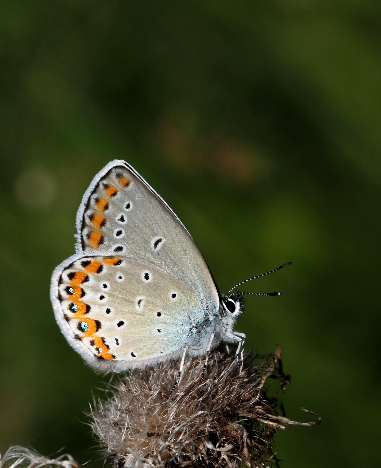 Astragelblåfugl, Plebejus argyrognomon