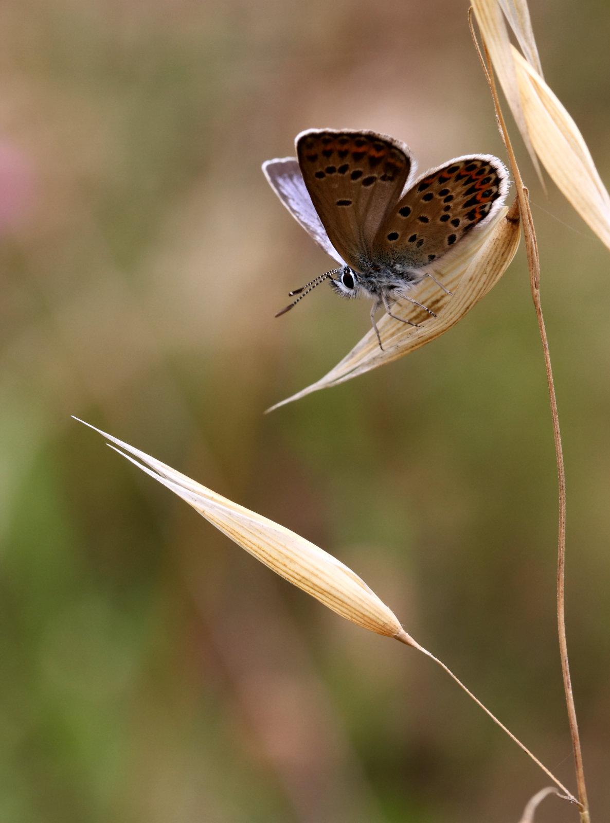 Korsikansk blåfugl, Plebejus bellieri