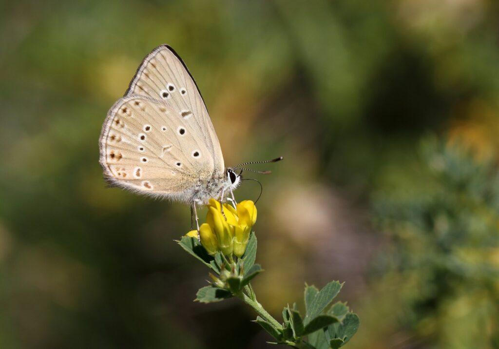 Østlig Pelsblåfugl, Polyommatus admetus