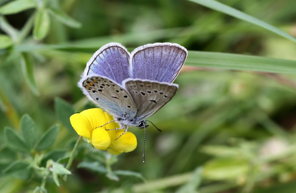 Isblåfugl, Polyommatus amandus