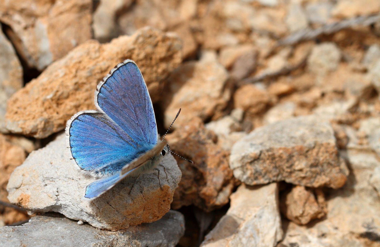 Adonisblåfugl, Lysandra bellargus