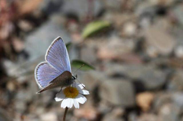 Sydlig blåfugl, Polyommatus celina