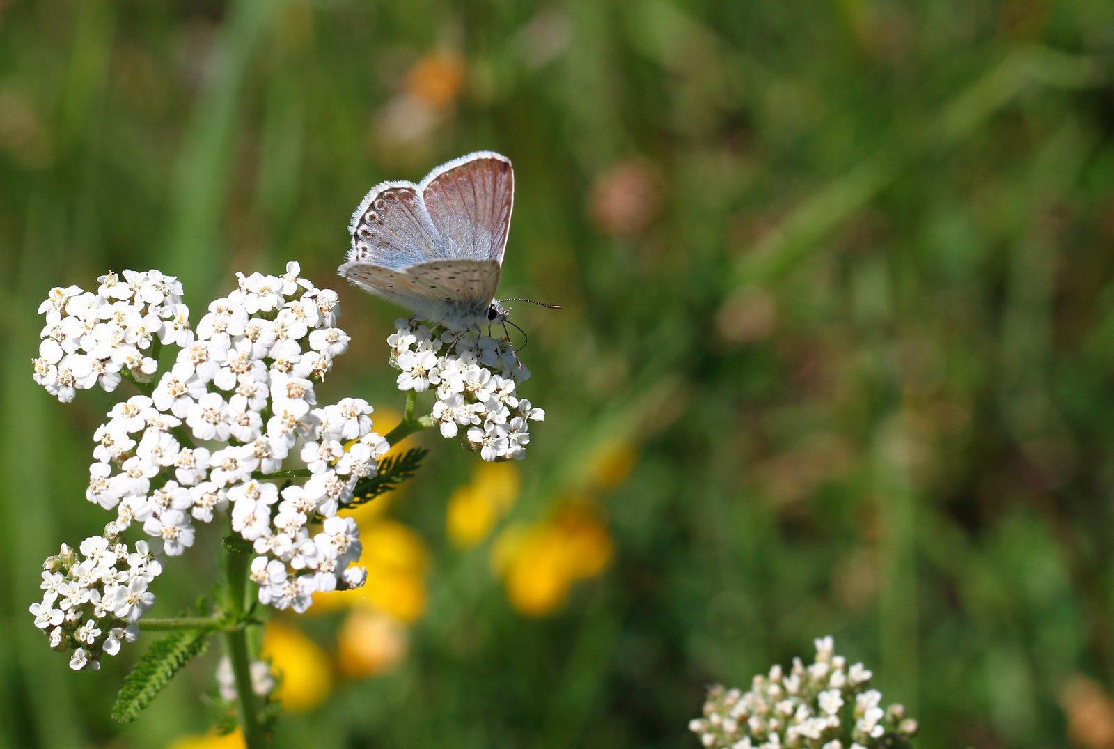 Sølvblåfugl, Polyommatus coridon