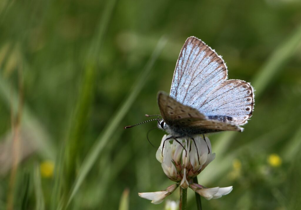 Klippeblåfugl, Polyommatus eroides