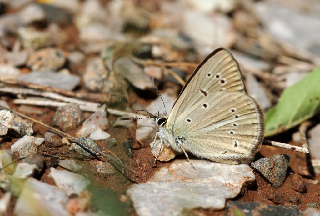 Riparts Stregblåfugl, Polyommatus ripartii