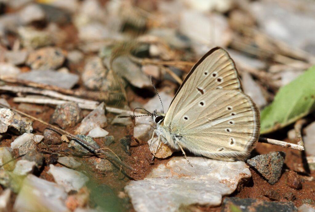 Brun stregblåfugl, Polyommatus riparii
