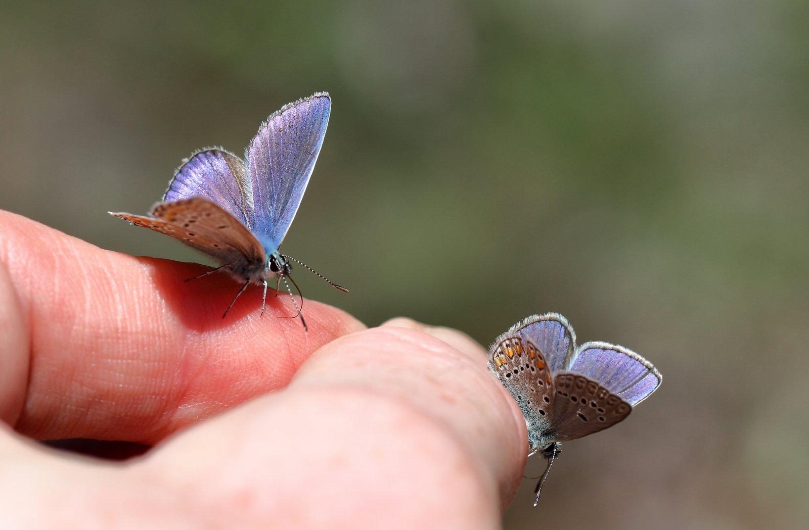 Chapmans blåfugl, Polyommatus  thersites