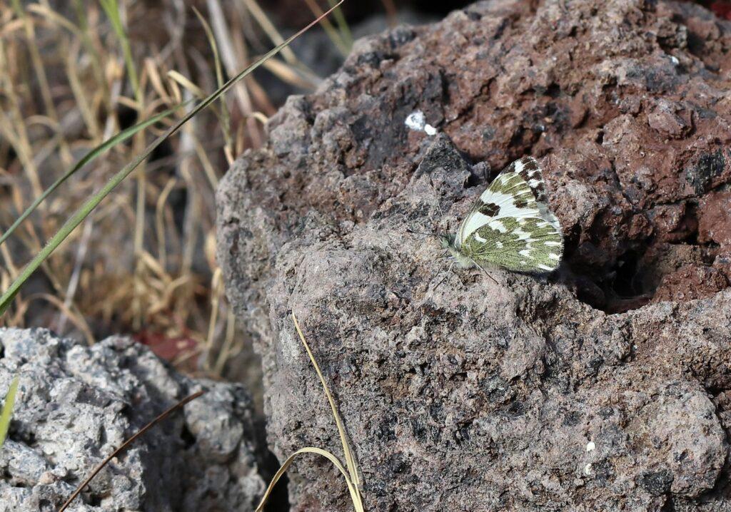 Vestlig grønbroget kålsommerfugl, Pontia daplidice - Gran Canaria