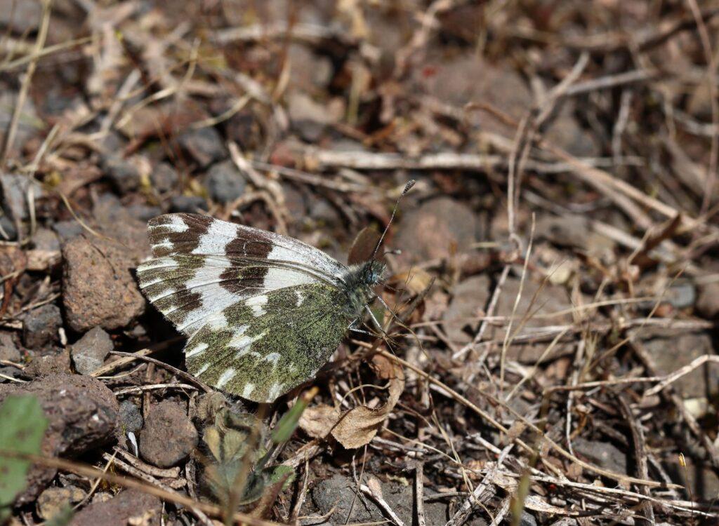 Vestlig grønbroget kålsommerfugl, Pontia daplidice