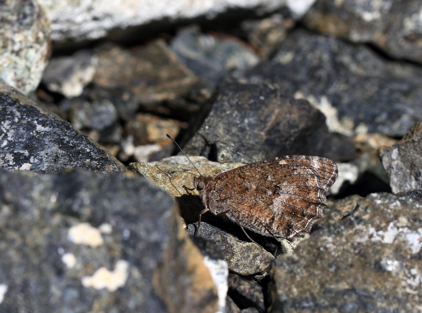 Stenrandøje, Pseudochazara amalthea