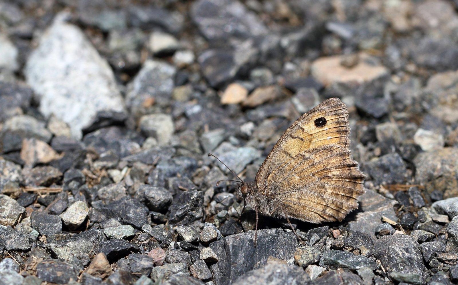 Albansk stenrandøje, Pseudochazara amymone