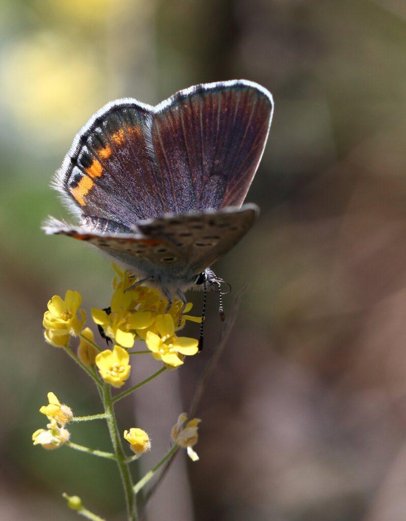 Bavius Timianblåfugl, Pseudophilotes bavius