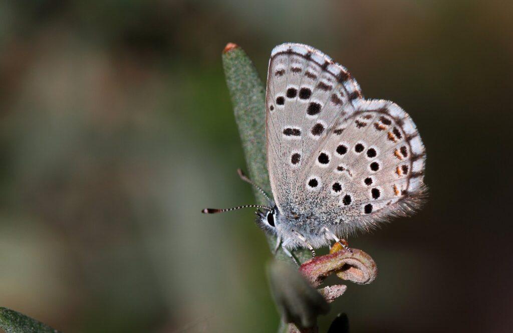Iberisk Timianblåfugl, Pseudophilotes panoptes