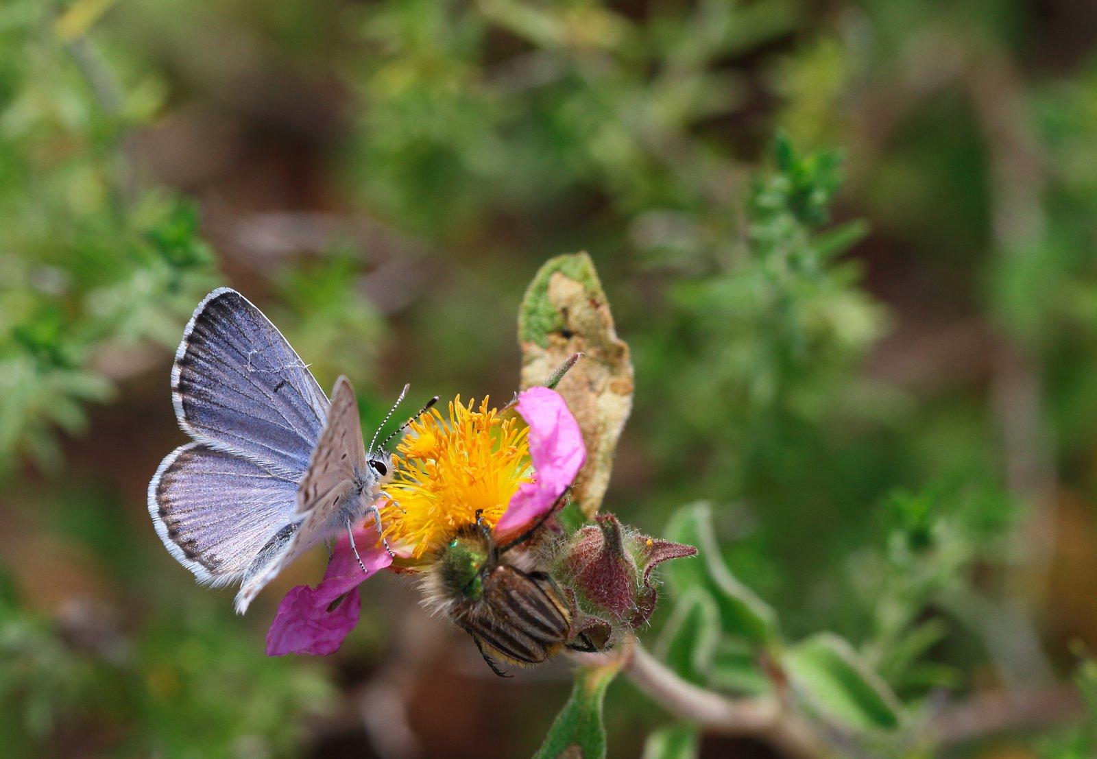 Østlig timianblåfugl, Pseudophilotes vicrama