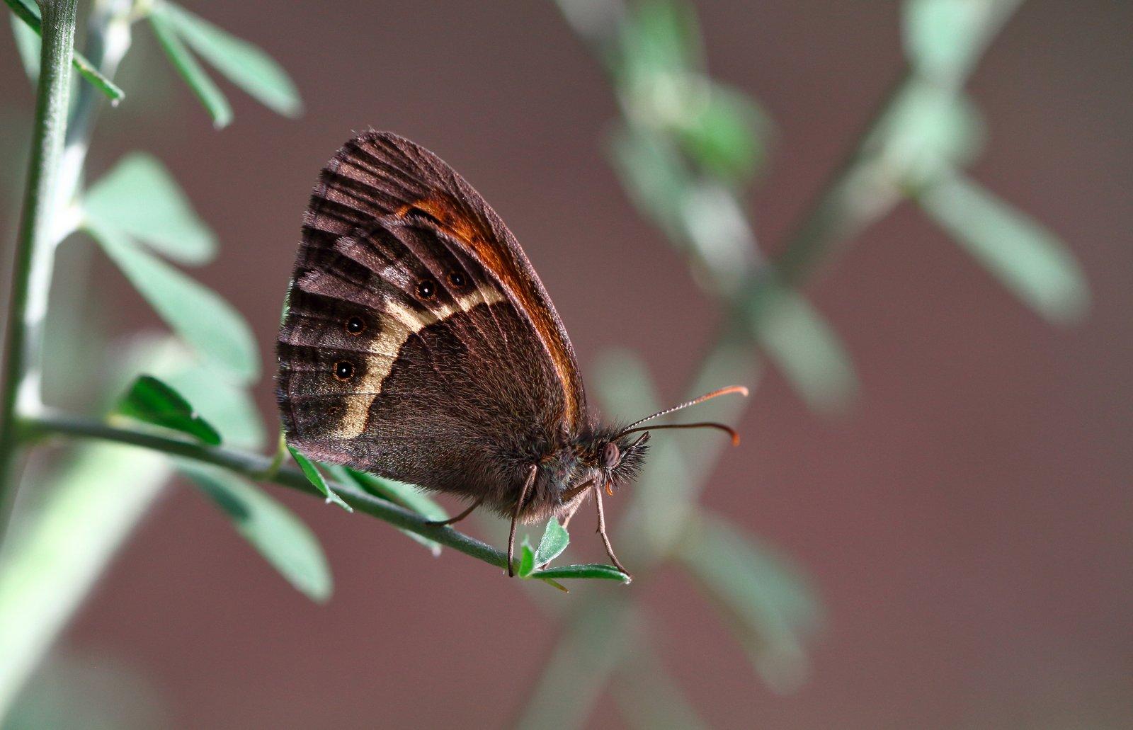 Spansk buskrandøje, Pyronia bathseba