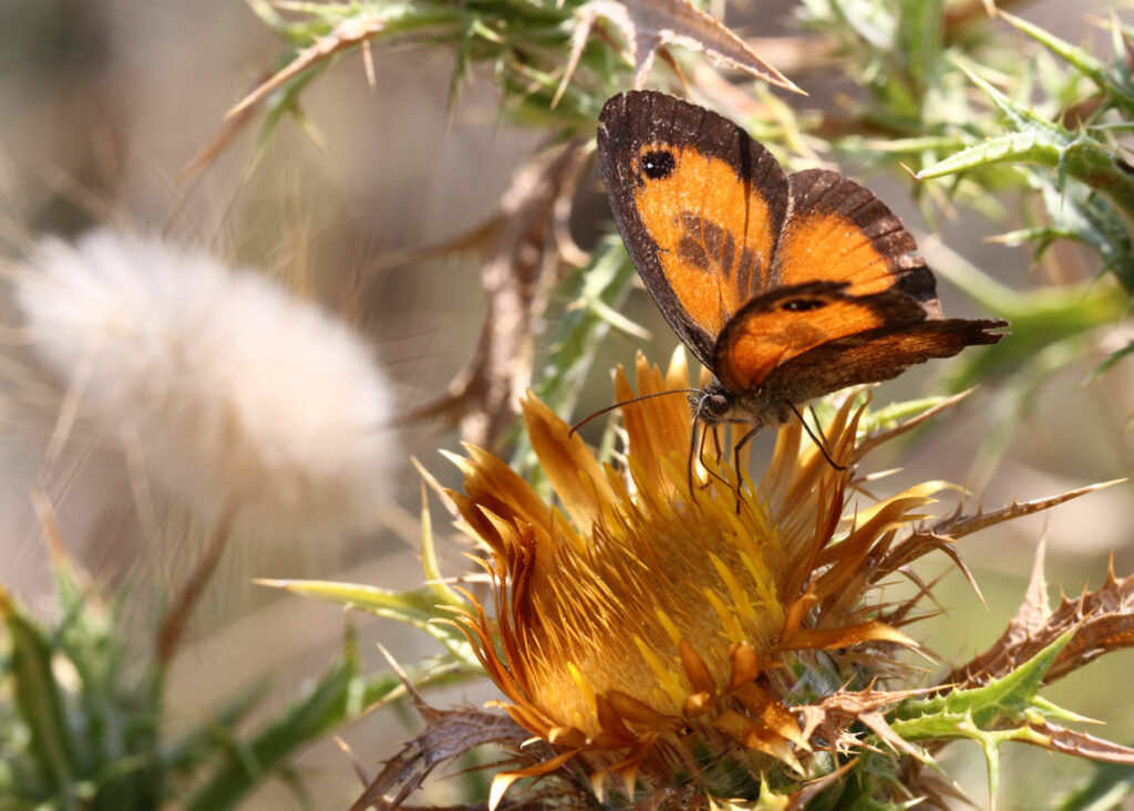 Sydlig buskrandøje, Pyronia cecilia