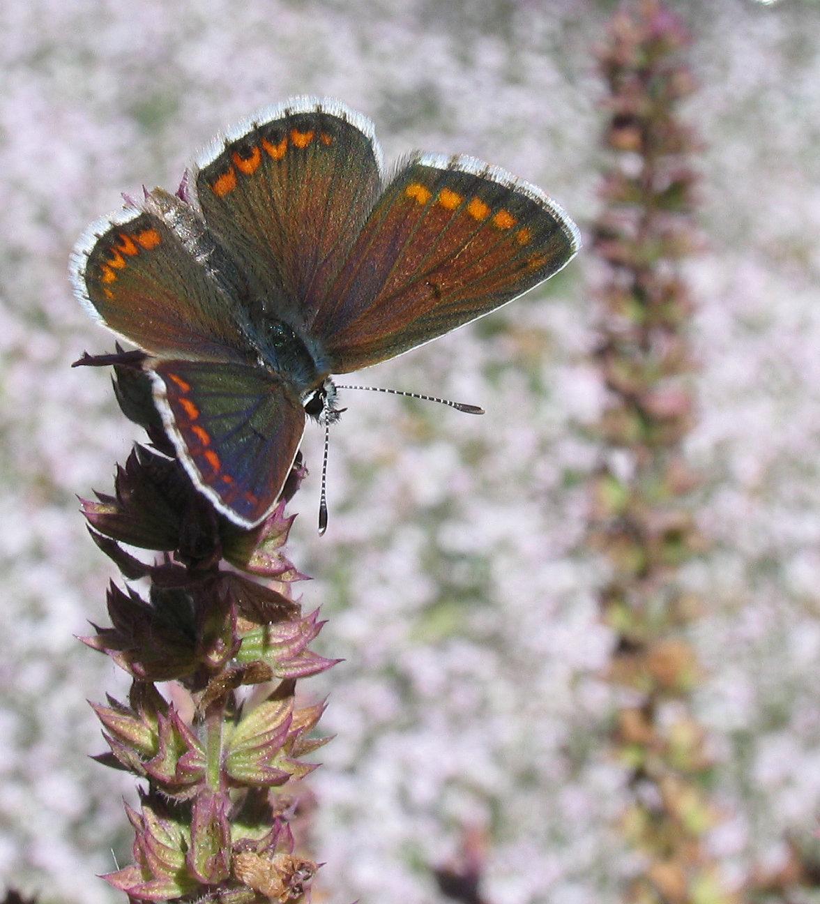 Rødplettet blåfugl, Aricia agestis