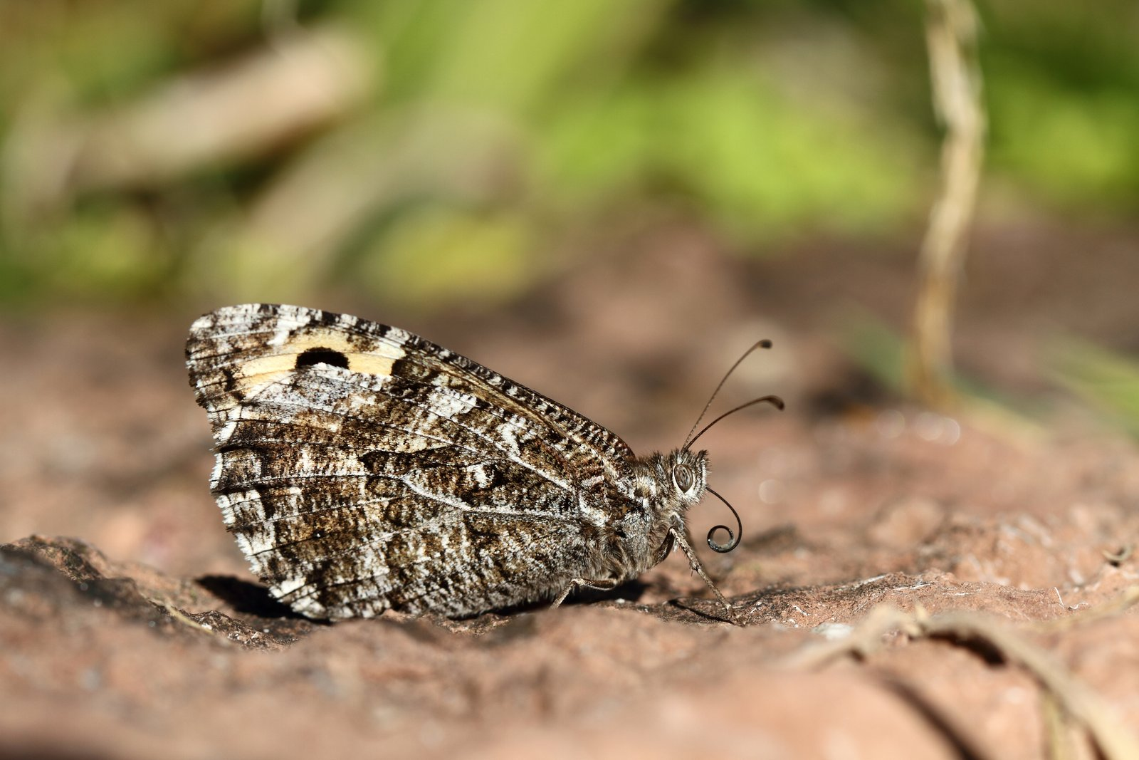 Sandrandøje, Hipparchia semele