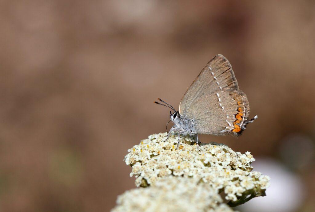 Lille slåensommerfugl, Satyrium acaciae