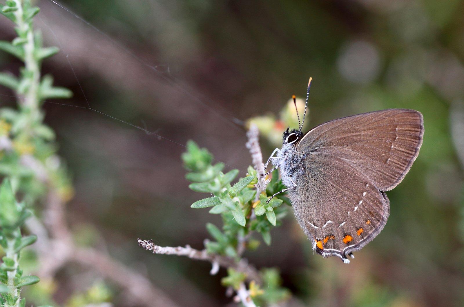 Egesommerfugl, Satyrium ilicis