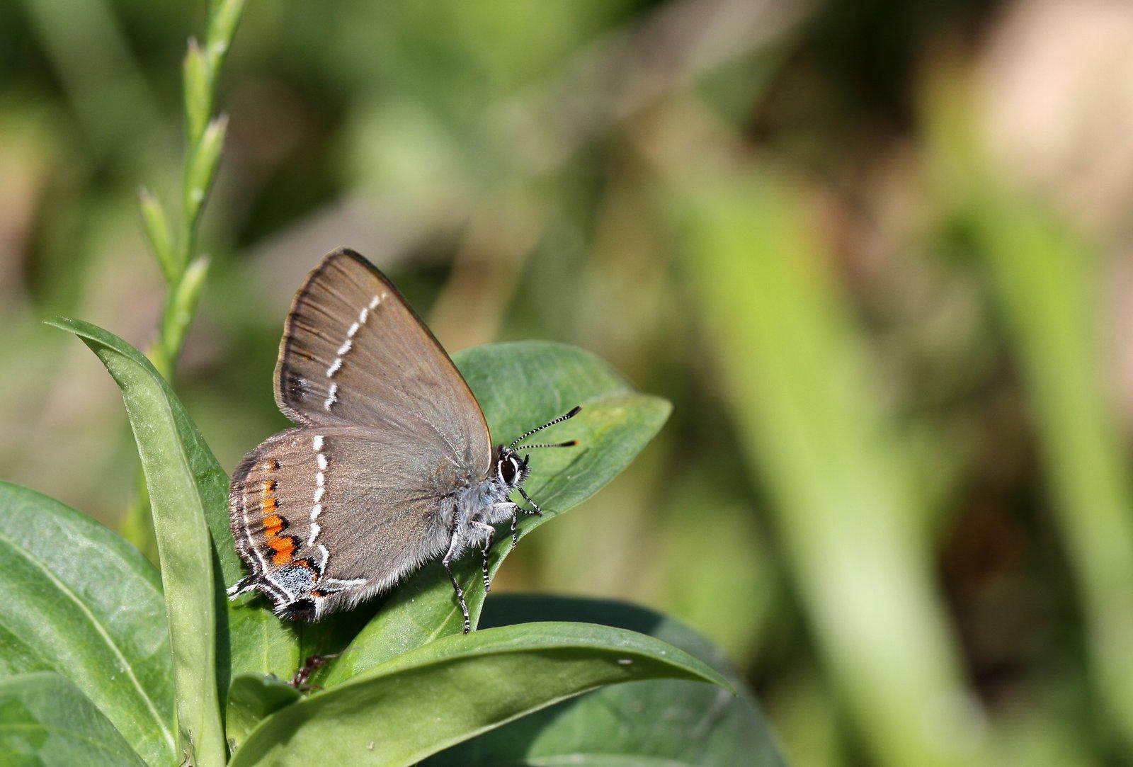 Vrietornsommerfugl, Satyrium spini