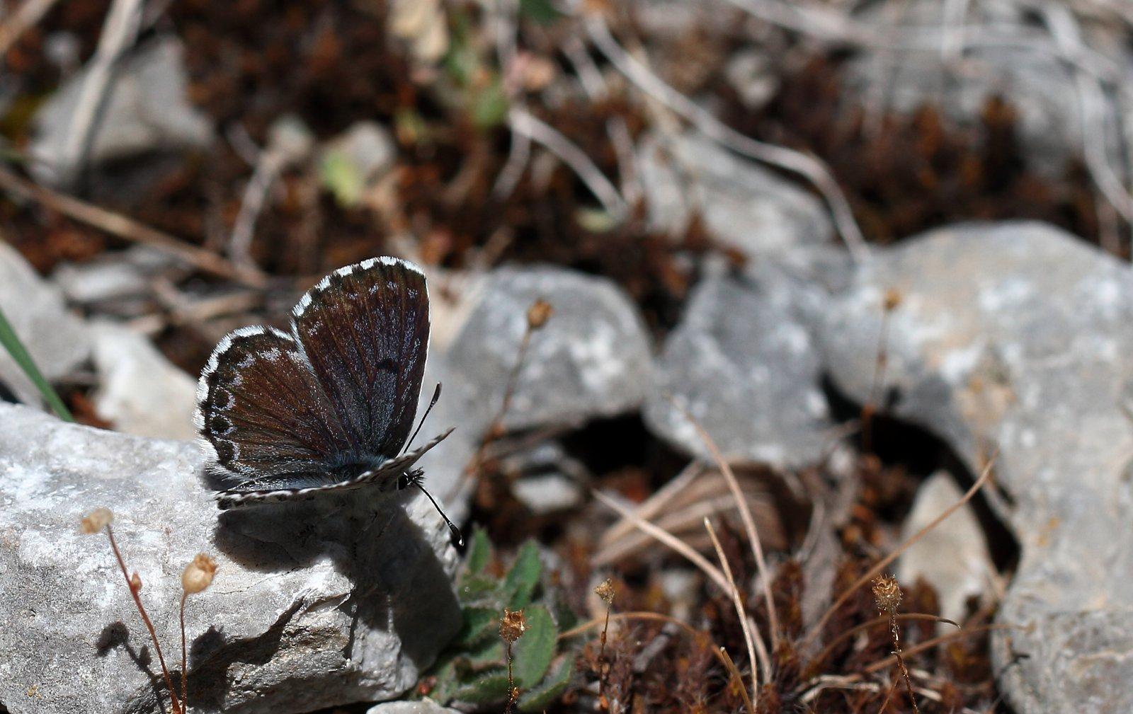 Stenurtblåfugl, Scolitantides Orion