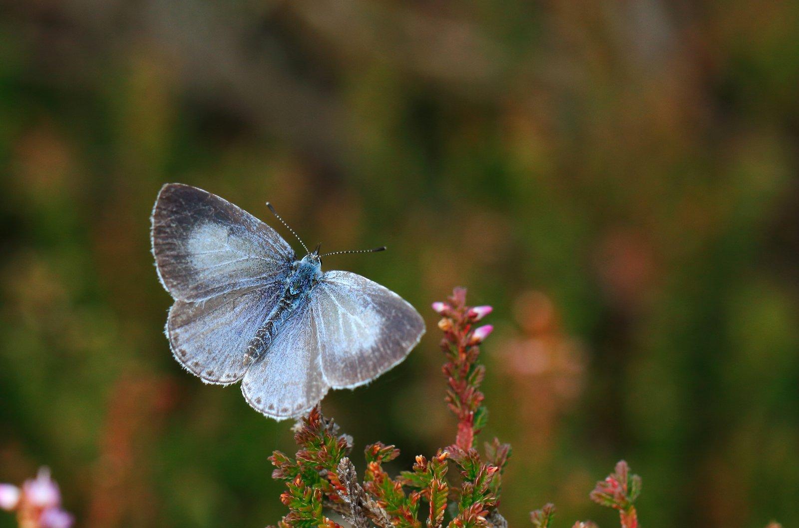 Skovblåfugl, Celastrina argiolus