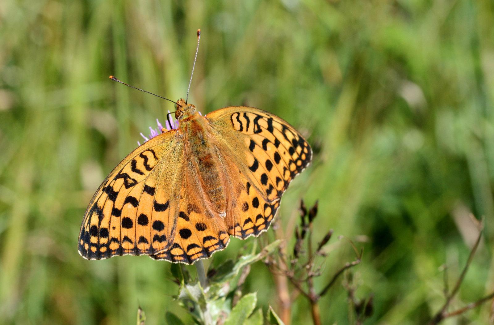 Skovperlemorsommerfugl, Fabriciana adippe