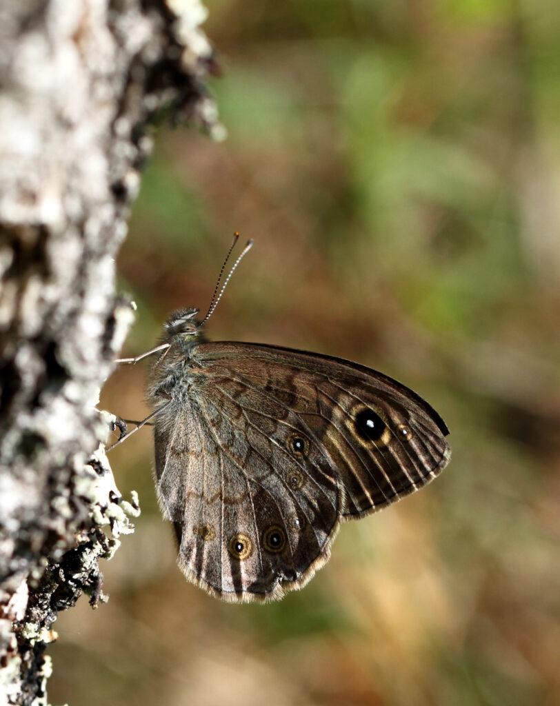 Skov-vejrandøje, Lasiommata maera