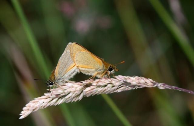 Skråstregbredpande, Thymelicus sylvestris