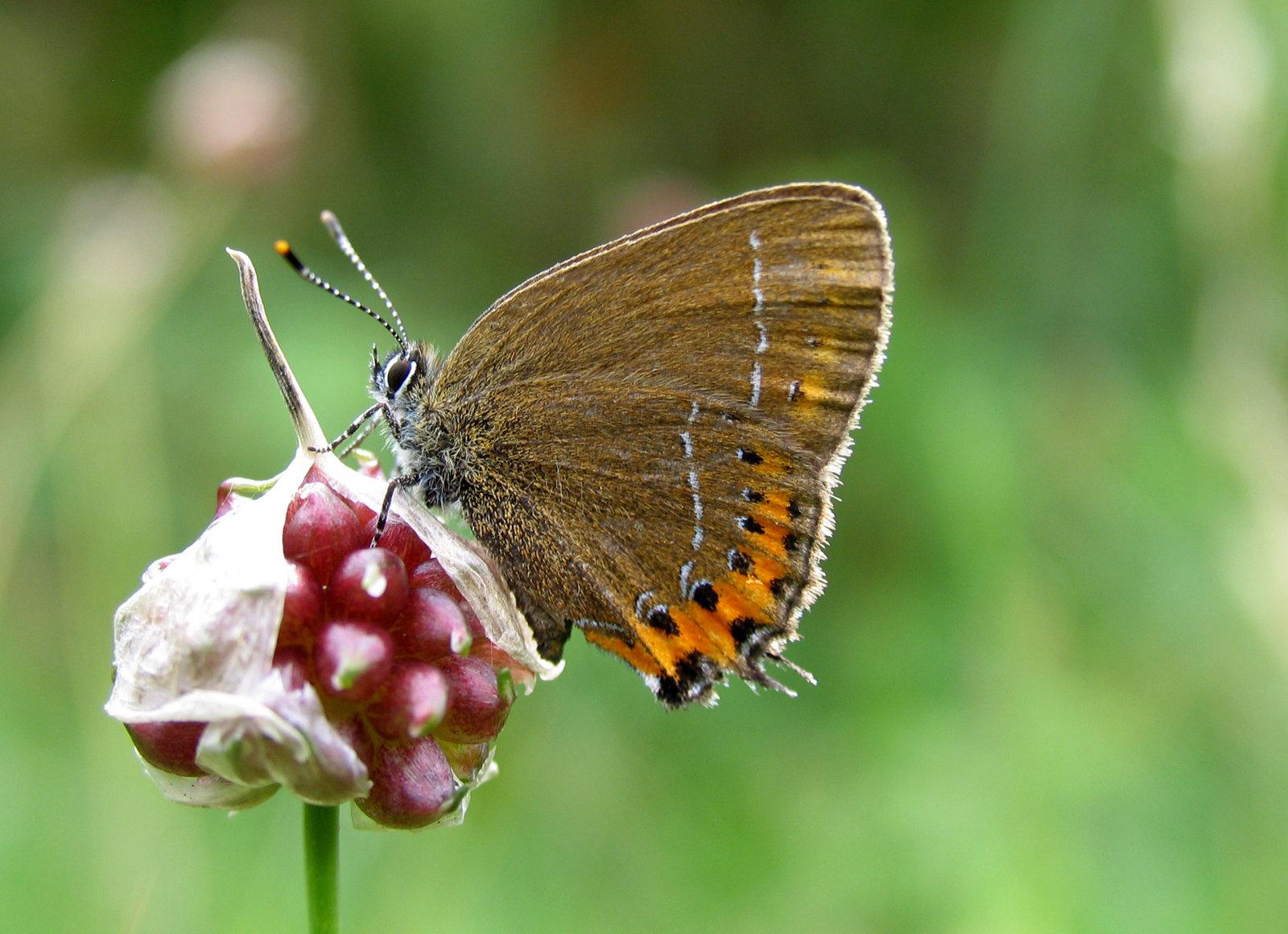 Slåensommerfugl, Satyrium pruni