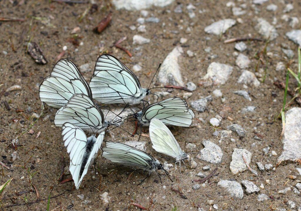 Sortåret hvidvinge - Aporia crataegi