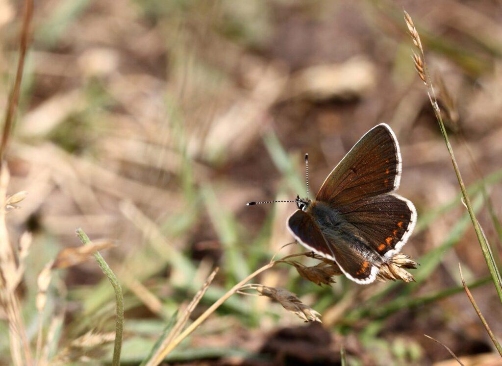 Sortbrun blåfugl, Aricia artaxerxes