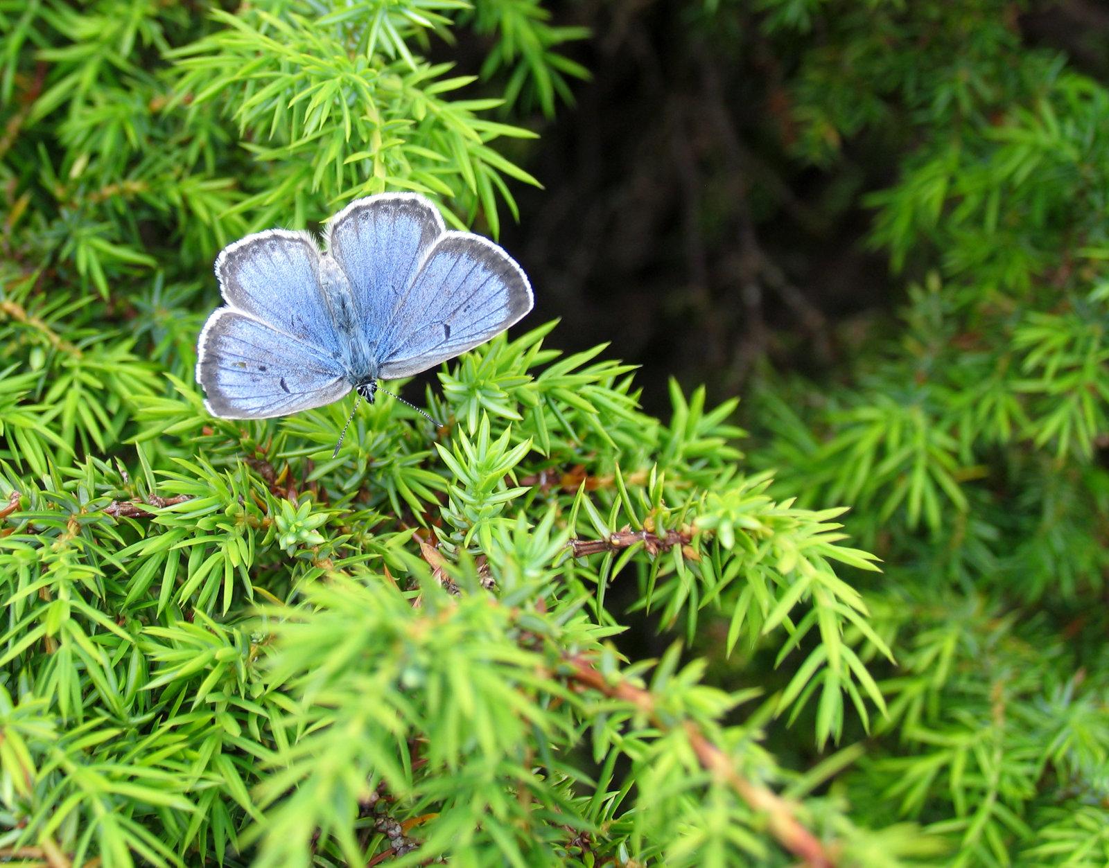 Sortplettet blåfugl, Phengaris arion