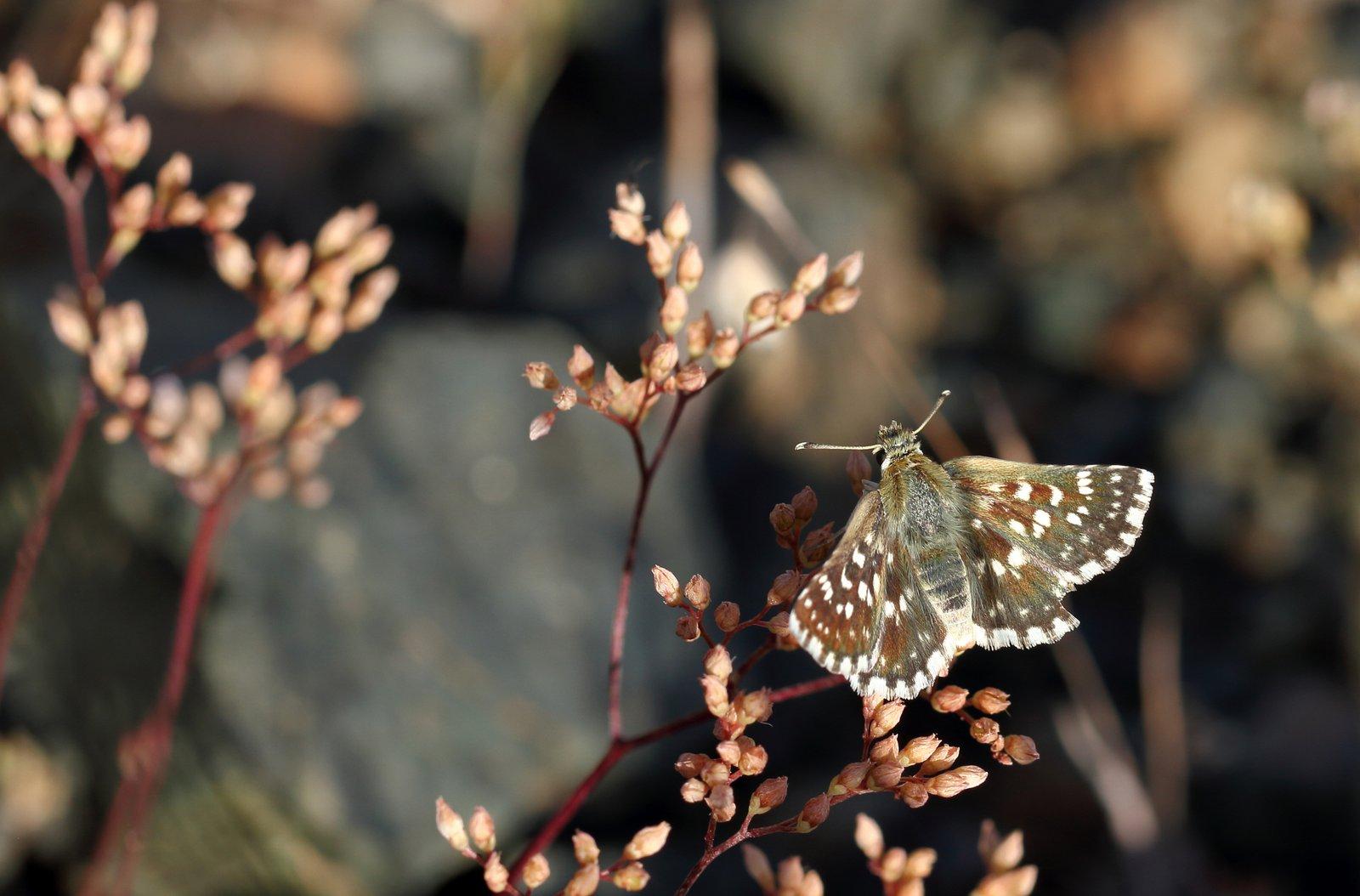 Diamantbredpande, Spialia phlomidis