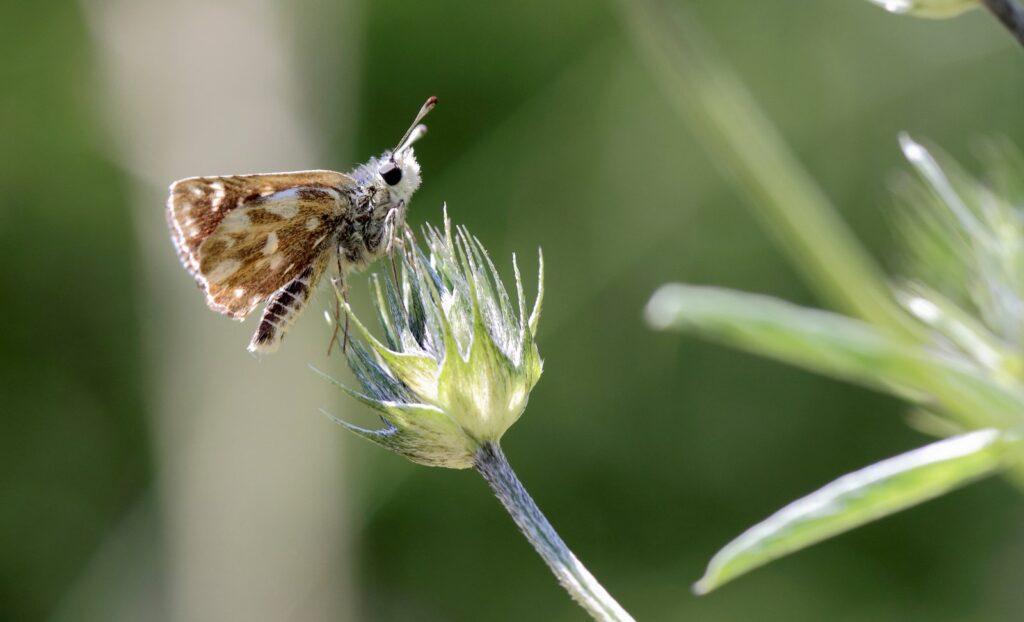 Bibernellebredpande, Spialia sertorius