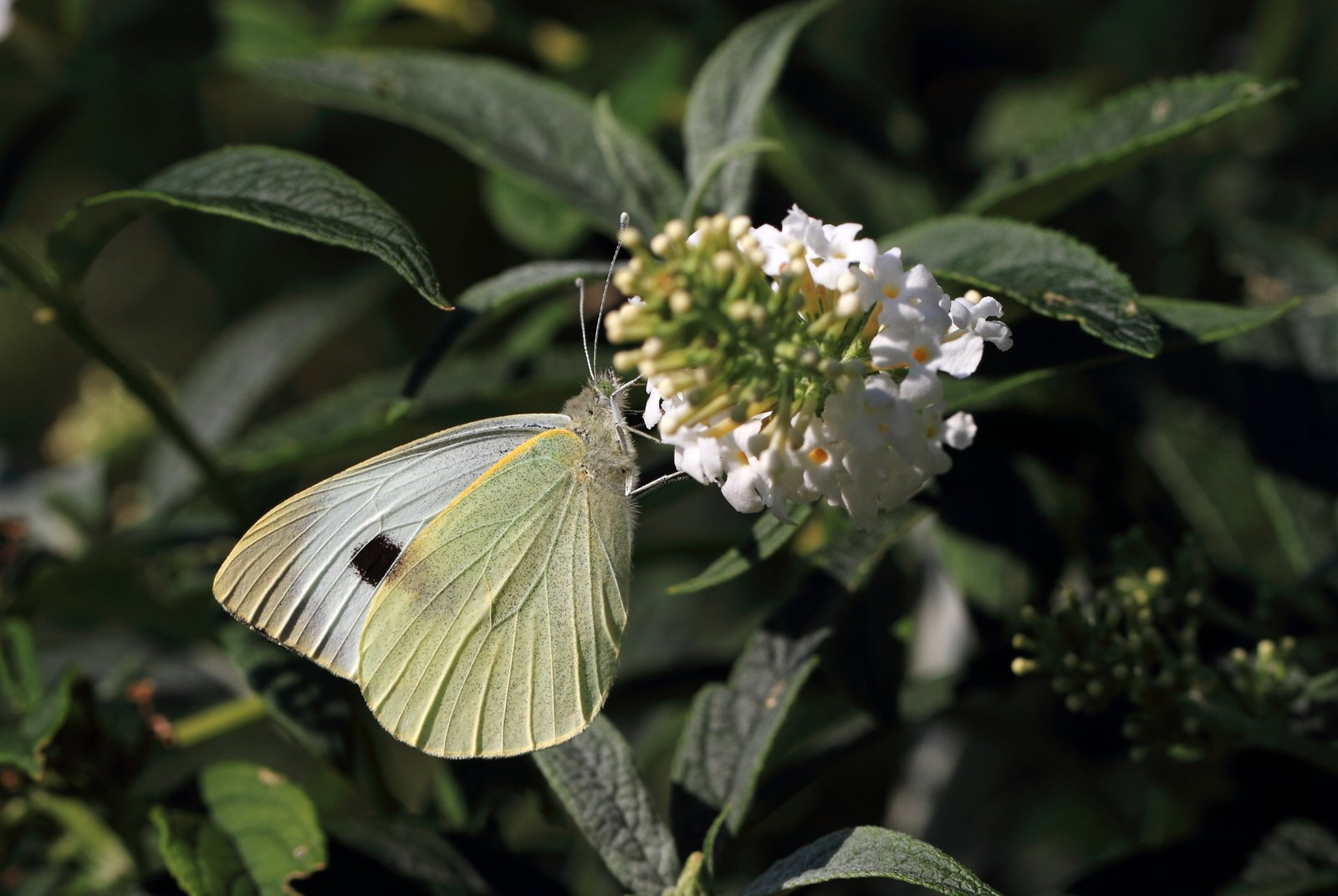 Stor kålsommerfugl, Pieris brassicae