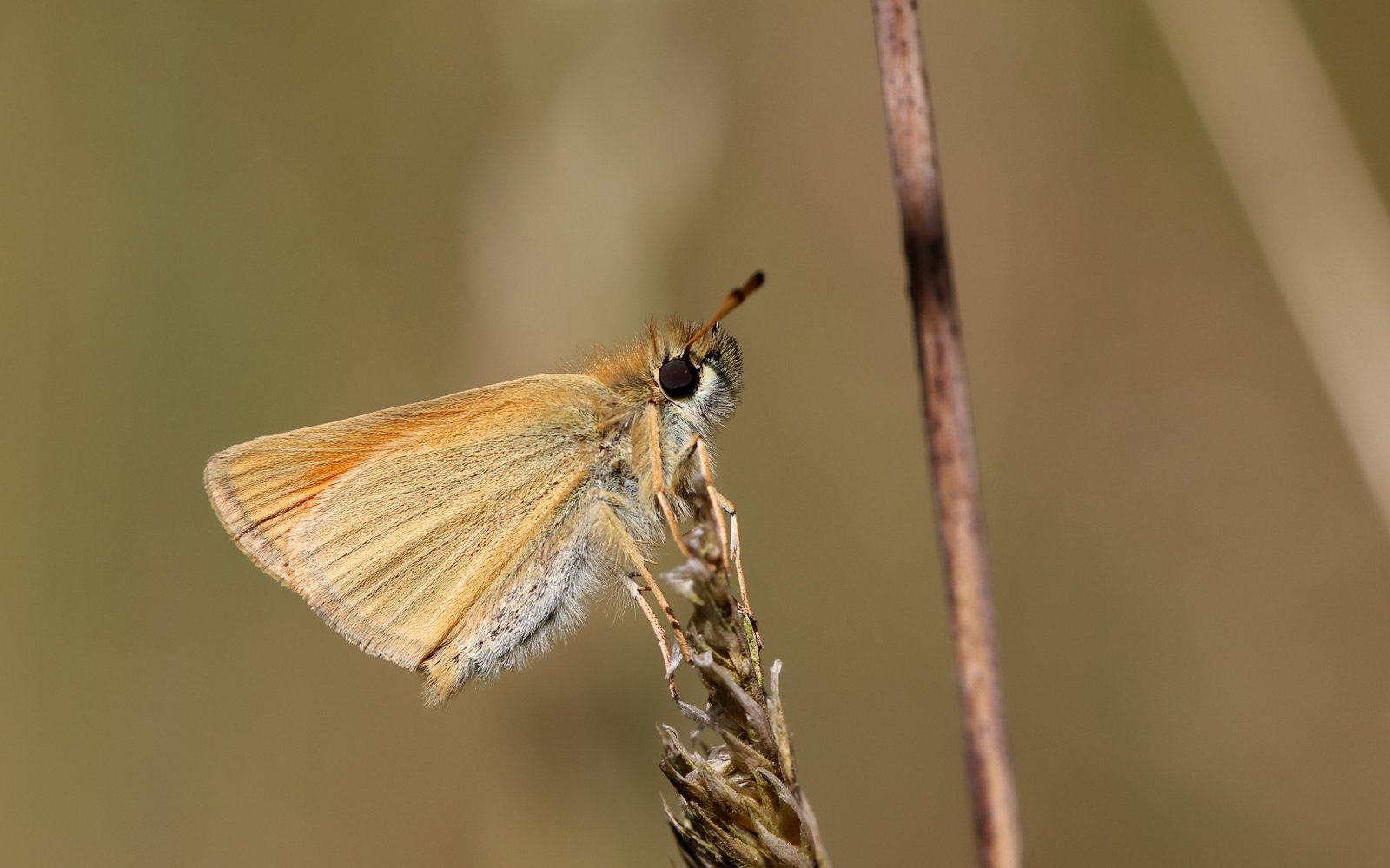 Stregbredpande, Thymelicus lineola