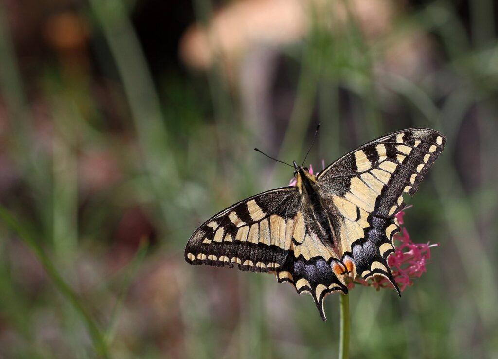 Svalehale, Papilio machaon