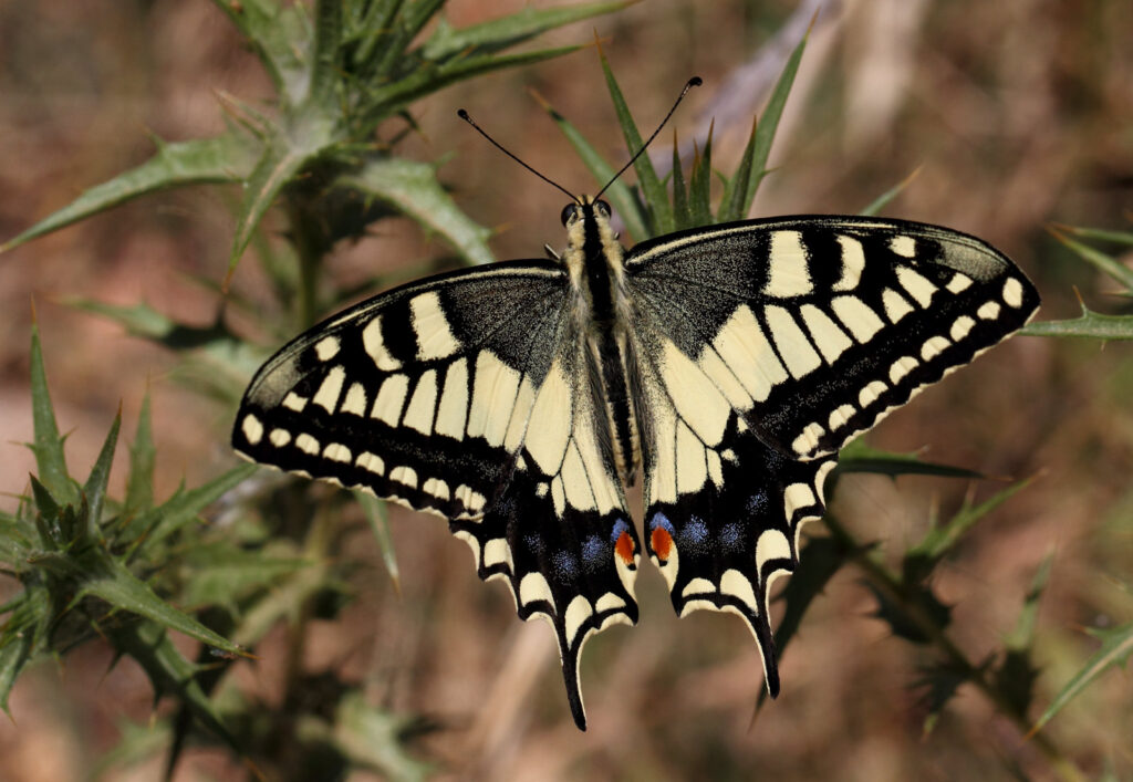Svalehale, Papilio machaon