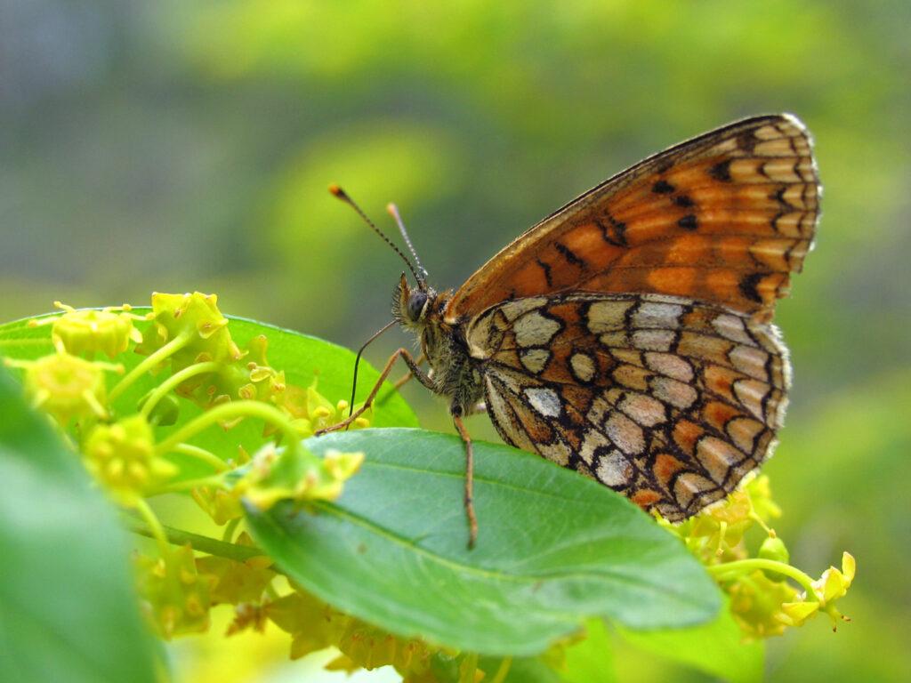 Sydlig brun pletvinge, Melitaea celadussa