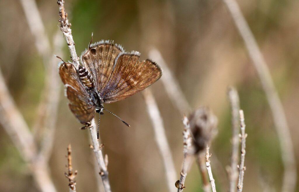 Lille tigerfugl, Tarucus balkanicus