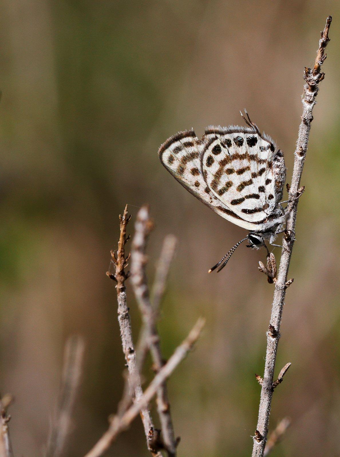 Lille tigerfugl, Tarucus balkanicus - Grækenland - 29.4.2016