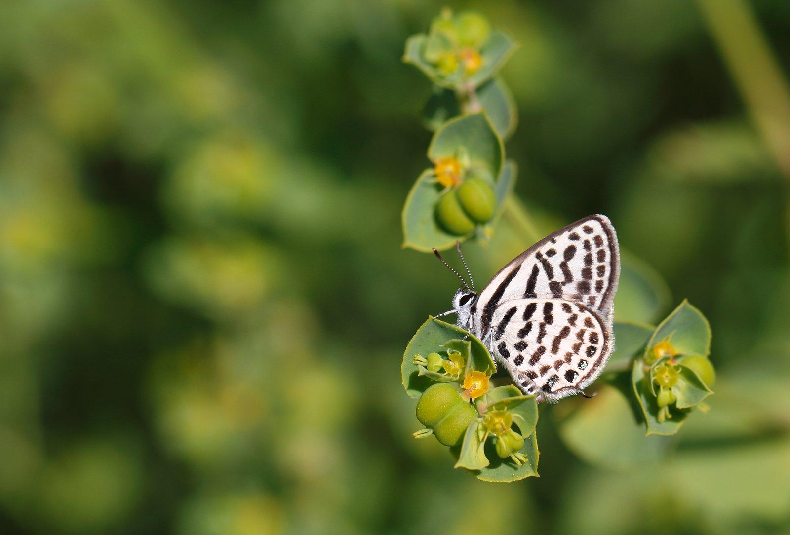 Tigerfugl, Tarucus theophrastus