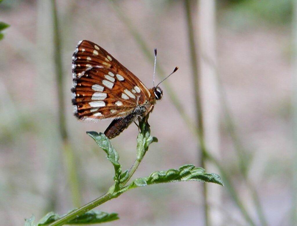 Terningssommerfugl, Hamearis lucina
