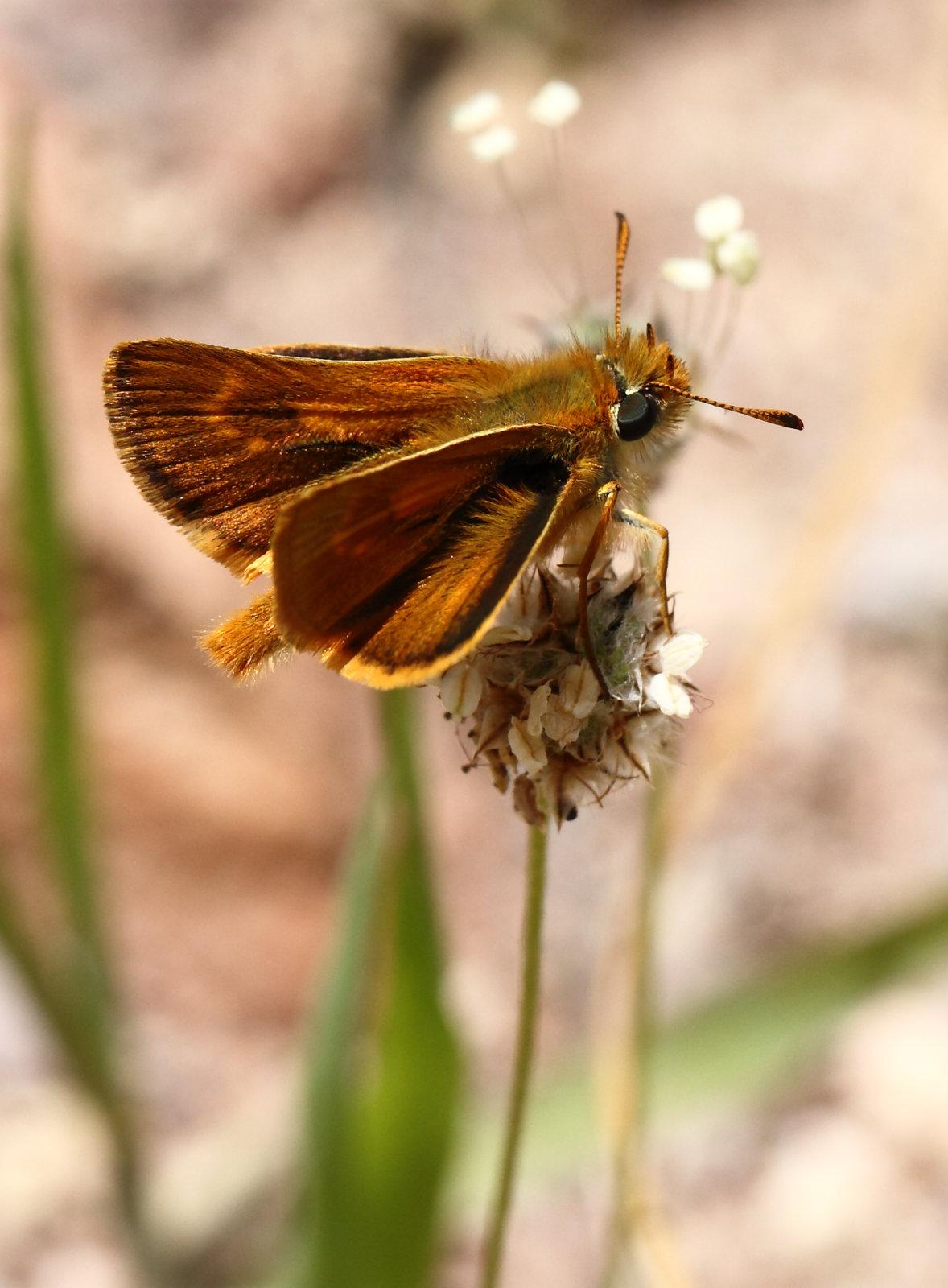 Kanarisk kalkbredpande, Thymelicus christi