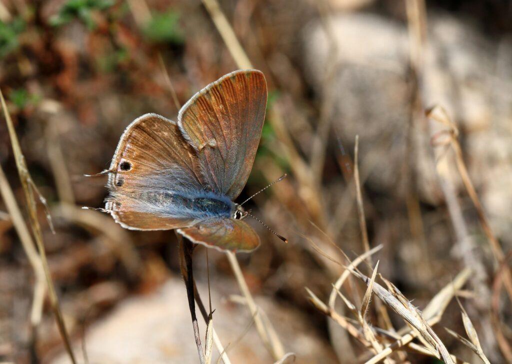 Vandreblåfugl, Lampides boeticus