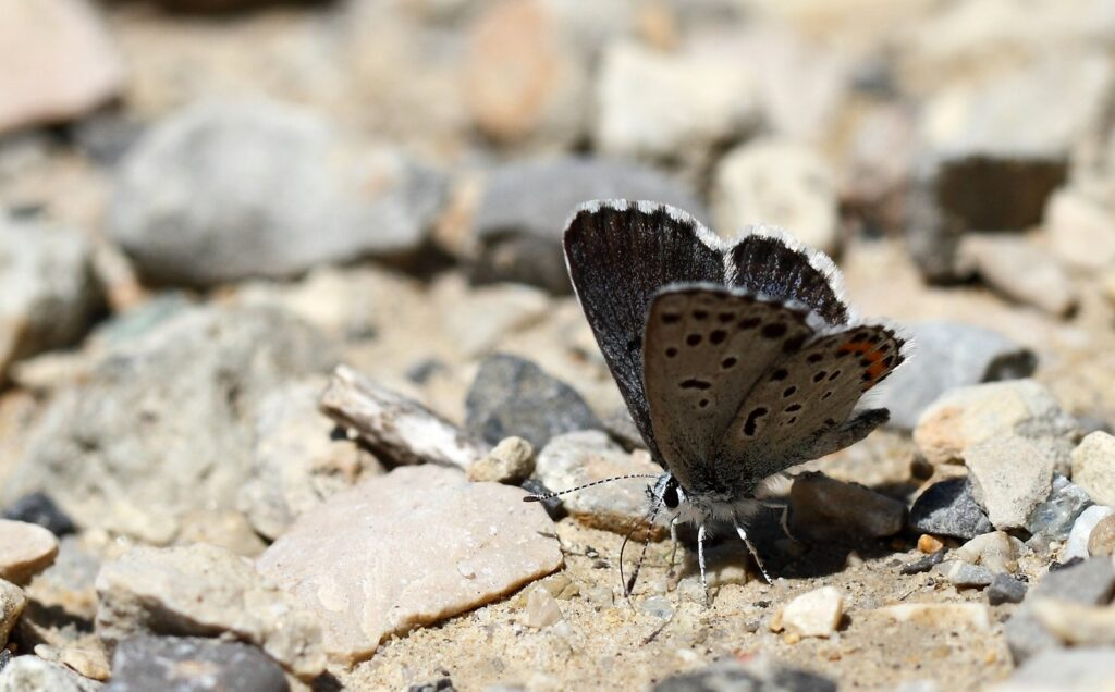Vestlig Timianblåfugl, Pseudophilotes baton