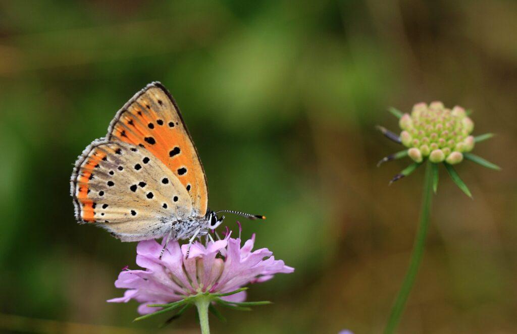 Violet ildfugl, Lycaena alciphron