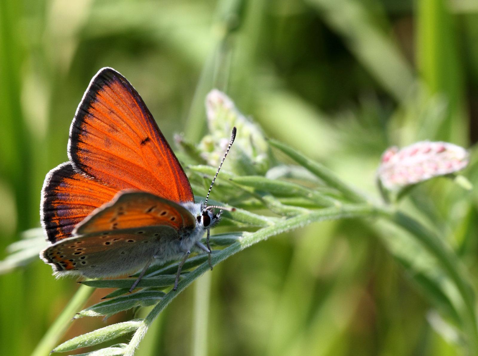 Violetrandet ildfugl, Lycaena hippothoe